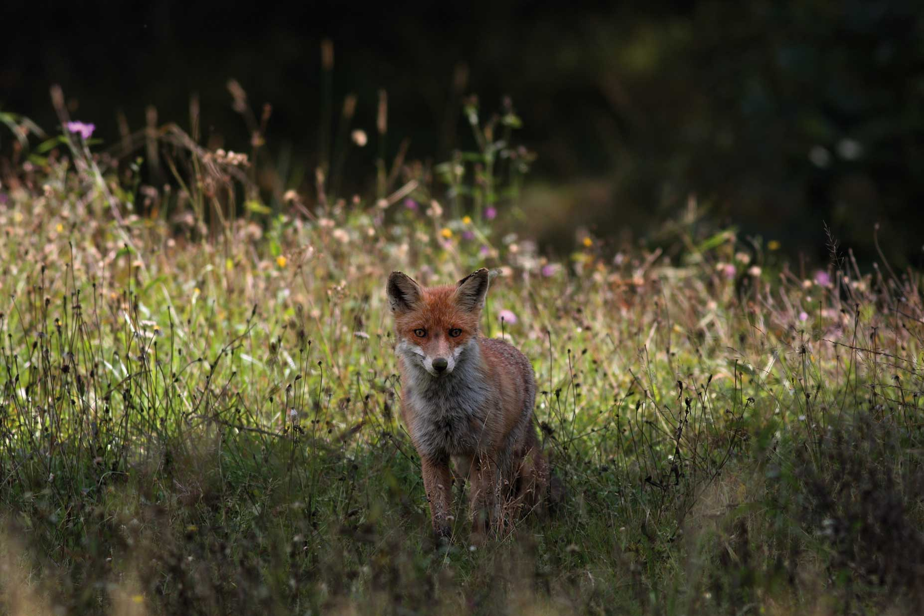 Dettaglio immagine bollettino ufficiale della regione for Dove vive la volpe