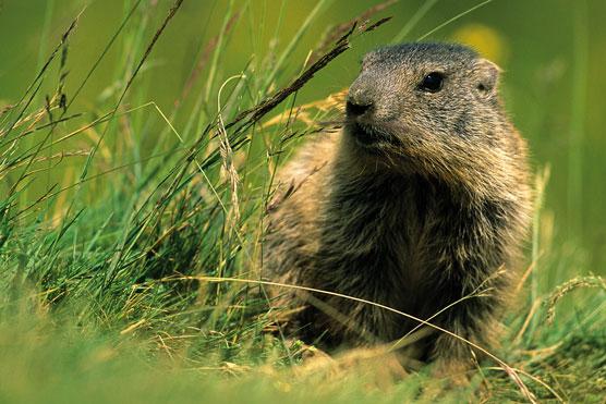 Fauna del Veneto, Marmotta (Marmota marmota). dans animali ed animaletti 642_Fauna%20del%20Veneto_Marmotta