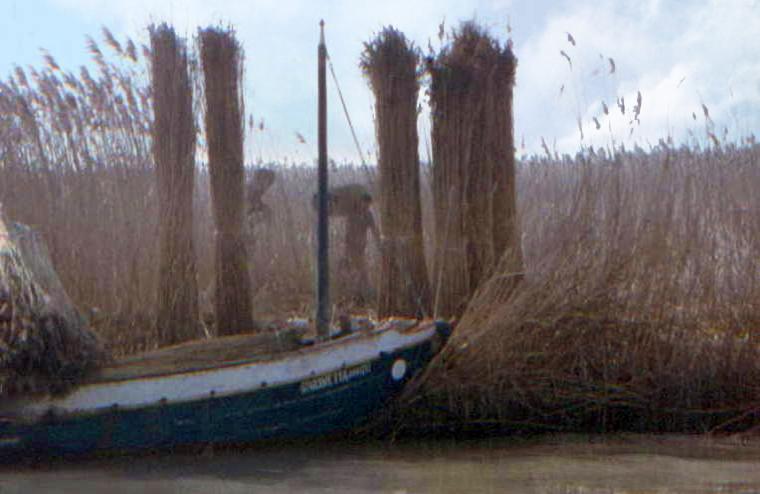 Parco regionale Veneto del Delta del Po (Ro), Raccolta della canna palustre (Arundo phragmites).