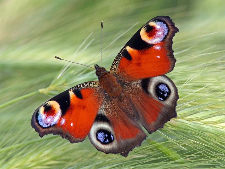 Fauna del Veneto, Farfalla Aglais io (Laguna di Venezia, Valle Dogà)