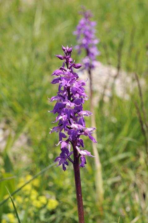Flora del Veneto, Orchidea maschio (Orchis mascula).