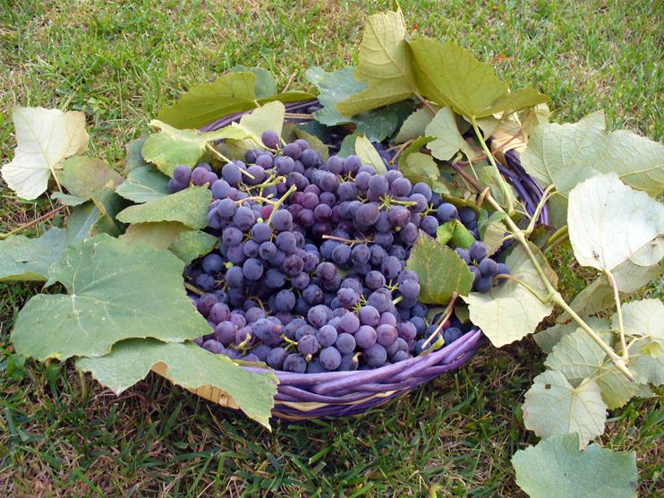 Prodotti tipici, Uva fragola.