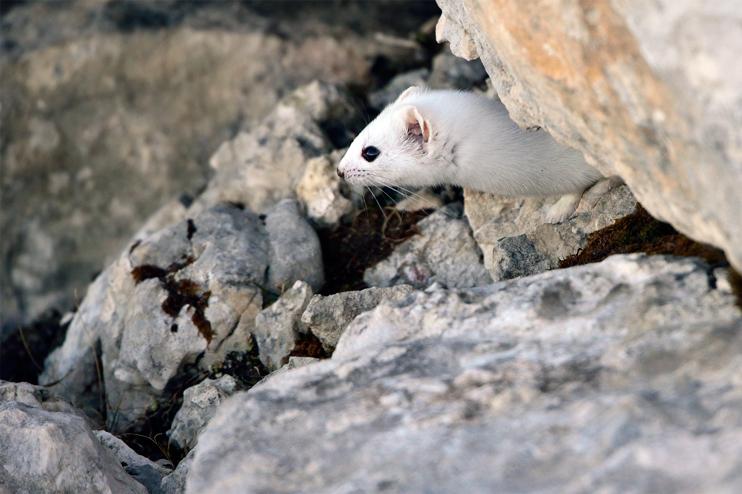 Fauna del Veneto, Ermellino (Mustela Erminea).
