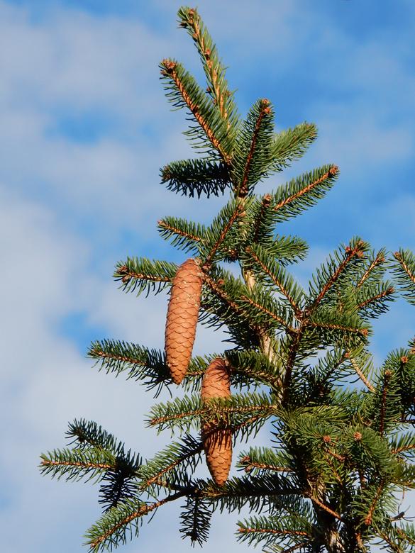 Flora del Veneto, Abete rosso (Picea abies).