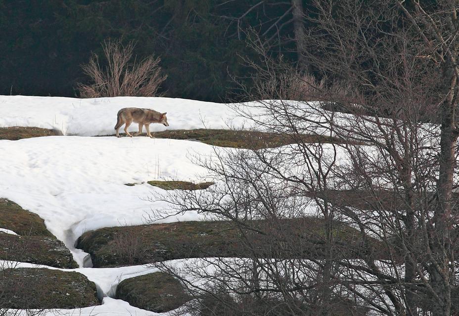 Fauna del Veneto, Lupo (Canis Lupus).