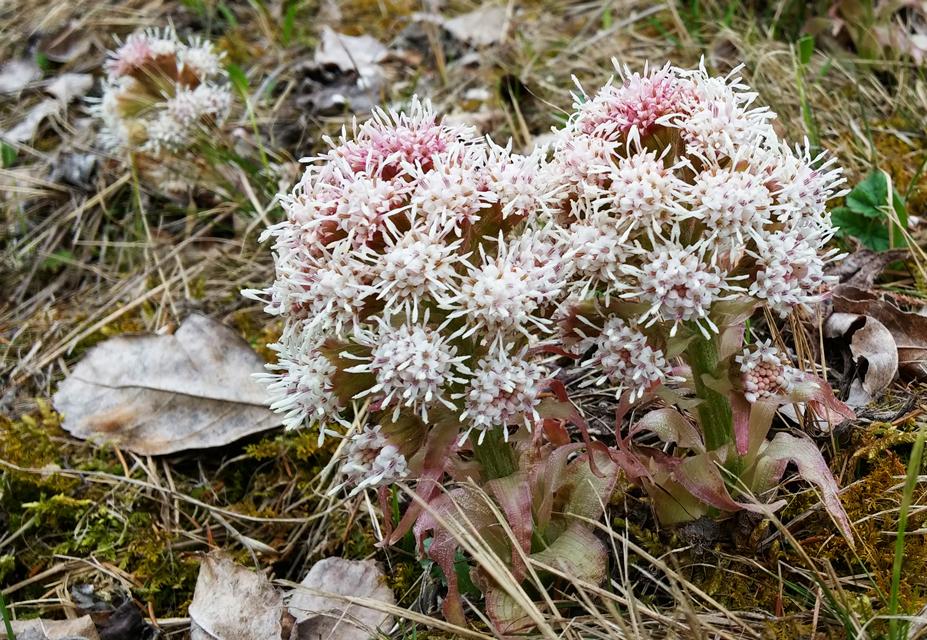 "Flora del Veneto, ""Farfaraccio niveo&quot (Petasites paradoxus)."