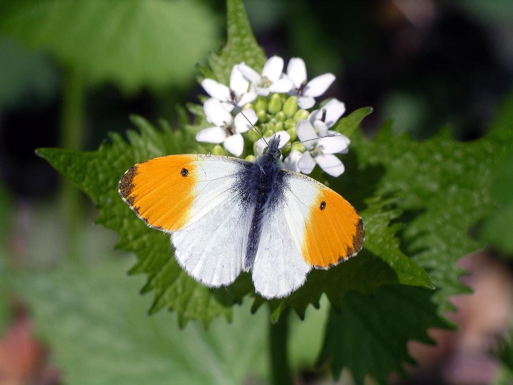 Fauna del Veneto, Farfalla Anthocaris cardamines (Colli Euganei, Monte Cecilia).