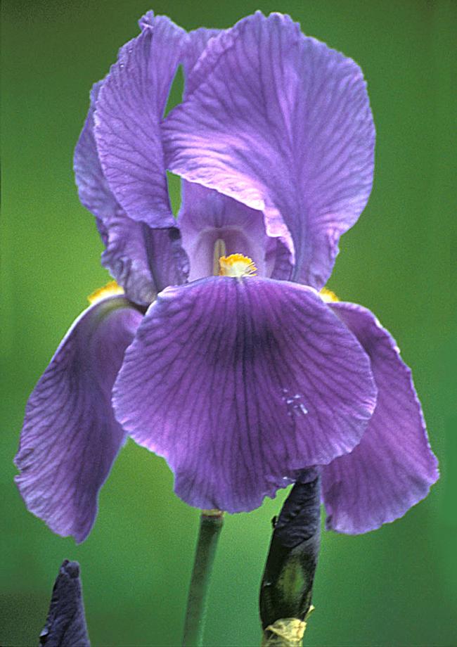 Flora del Veneto, Iris cengialto.