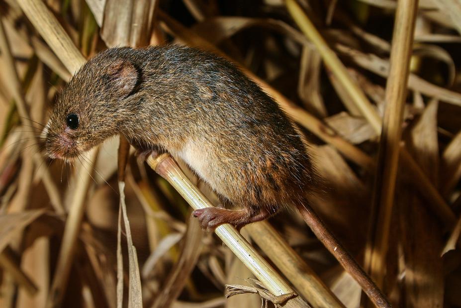 Fauna del Veneto, Topolino delle Risaie (Micromys Minutus)