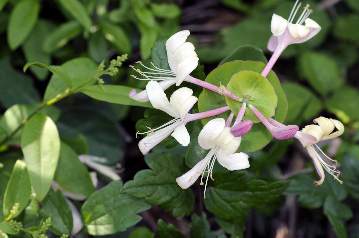 Flora del Veneto, Caprifoglio comune (Lonicera caprifolium).