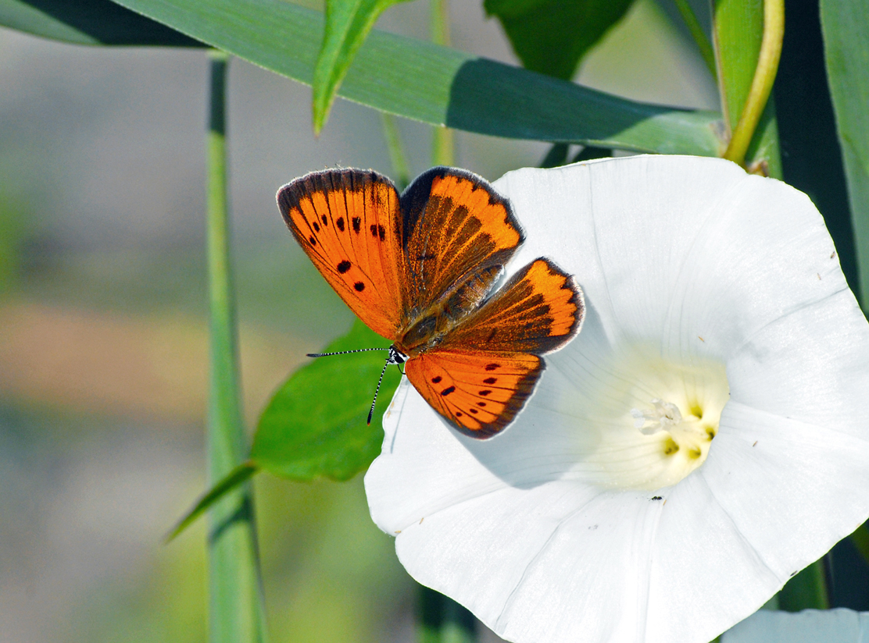 Fauna del Veneto, Farfalla Lycaena dispar (Laguna di Venezia, Valle Ghebo Storto).