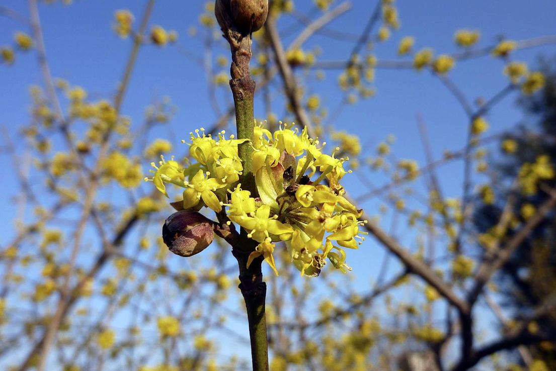 Flora del Veneto, Corniolo (Cornus mas).