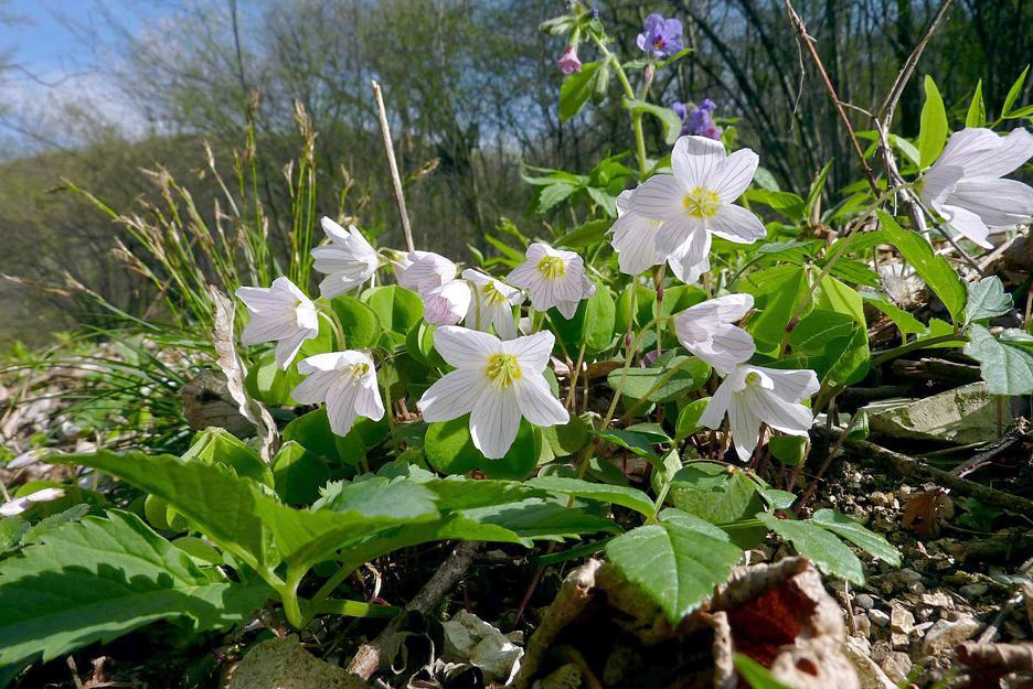 Flora del Veneto, Acetosella dei boschi (Oxalis Acetosella)