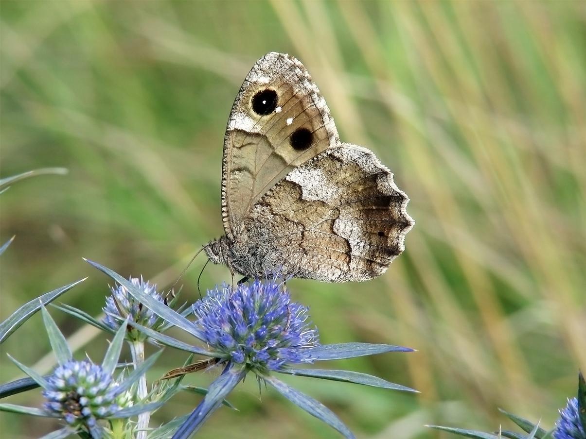Fauna del Veneto, Farfalla Hipparchia statilinus (Lessini vicentini, presso Torreselle)