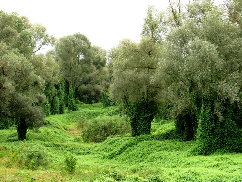 Flora del Veneto, Parco regionale Veneto del Delta del Po (Ro), Sicyos angulatus L.