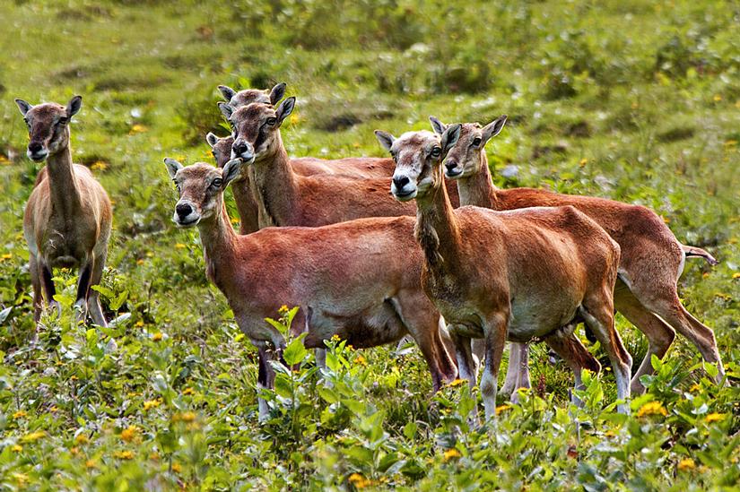Fauna del Veneto, Muflone europeo (Ovis musimon), esemplari di femmine a Campotorondo, Parco Nazionale Dolomiti Bellunesi.