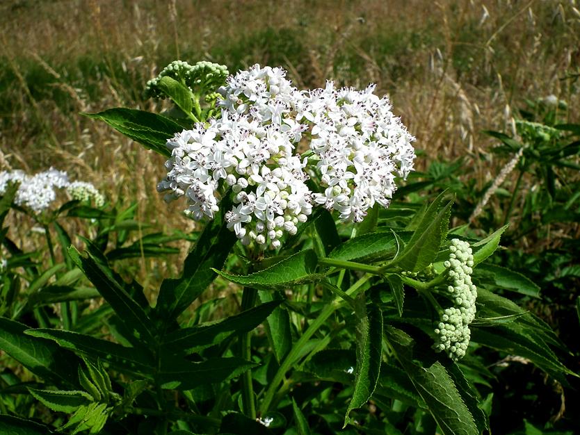 Flora del Veneto, Ebbio (Sambucus ebulus), Parco Regionale Veneto del Delta del Po.