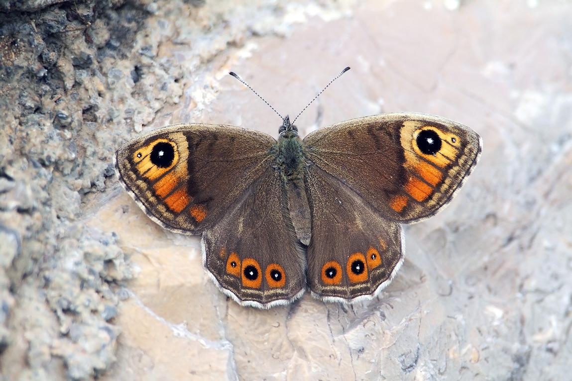 Fauna del Veneto, Farfalla Lasiommata maera (Prealpi vicentine, Monte Toraro).