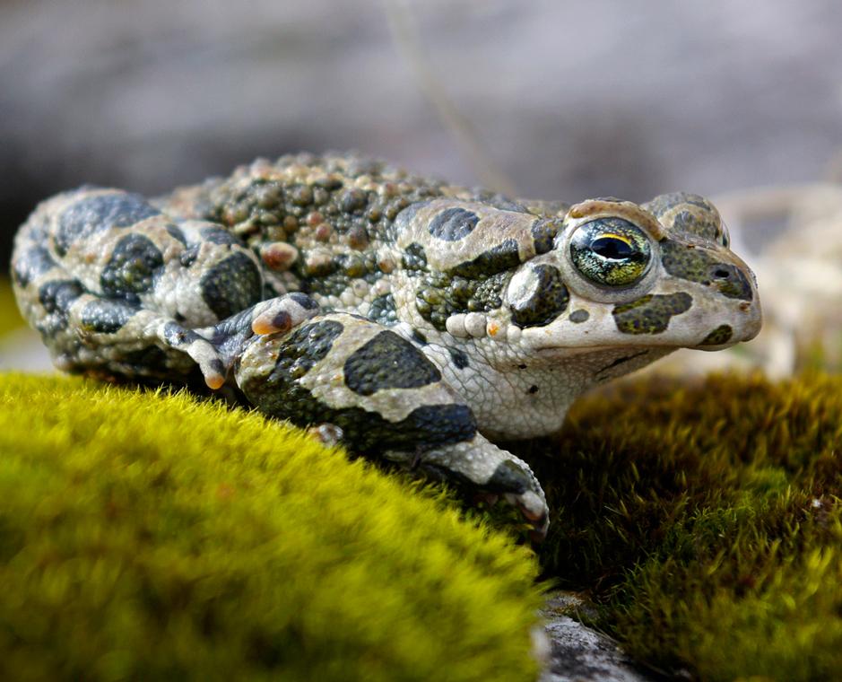 Fauna del Veneto, Rospo smeraldino (Bufotes viridis), Parco Nazionale Dolomiti Bellunesi.
