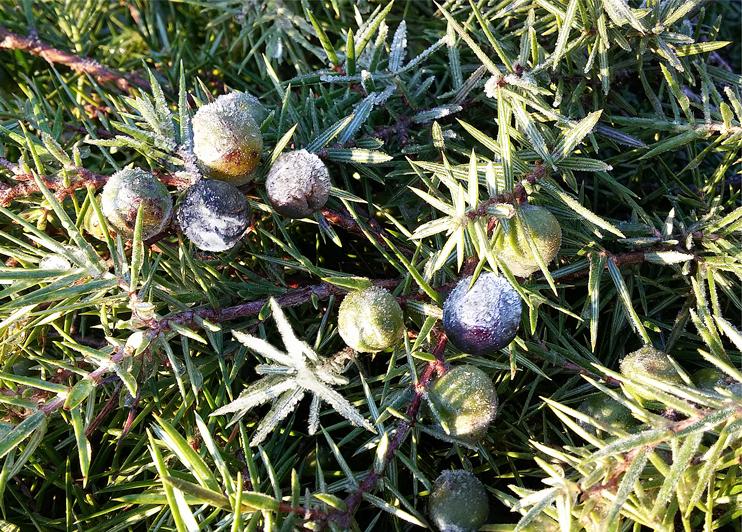 Flora del Veneto, Ginepro (Juniperus L communis).