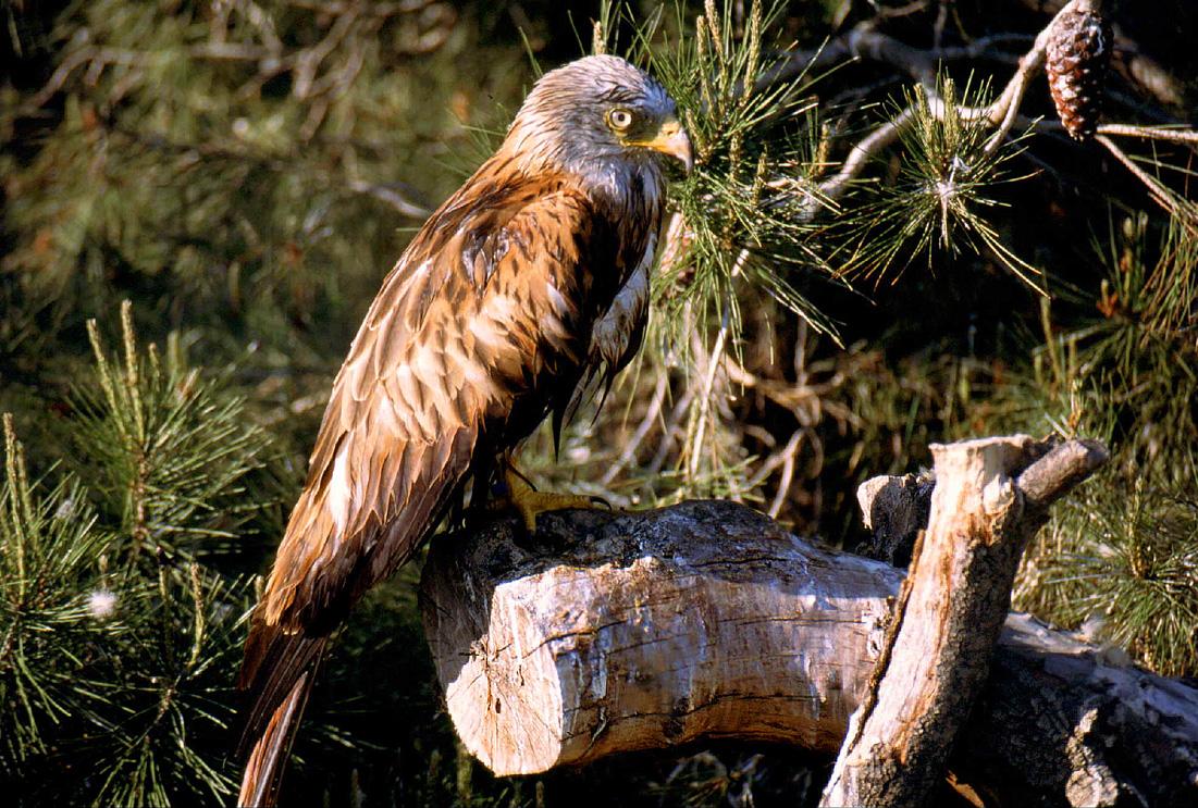 Fauna del Veneto, Nibbio reale (Milvus milvus), Parco Regionale Veneto del Delta del Po.