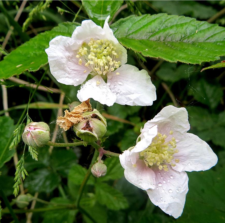 Flora del Veneto, Rovo selvatico (Rubus ulmifolius).