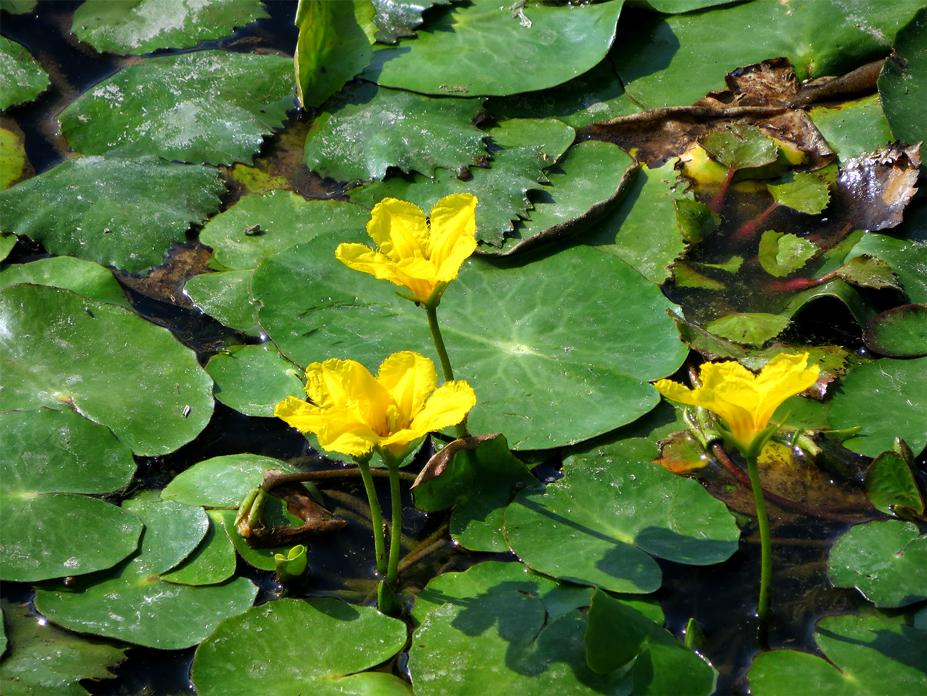 Flora del Veneto, Limnantemio (Nymphoides peltata).